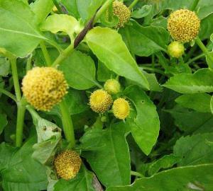"""Acmella oleracea, """"electric daisy"""""""